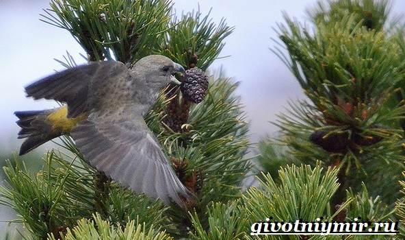 Клест-Описание-и-особенности-птицы-клест-5