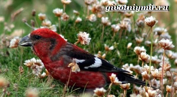 Клест-Описание-и-особенности-птицы-клест-6