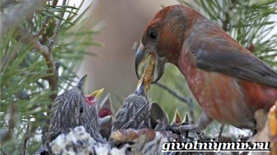 Клест-Описание-и-особенности-птицы-клест-7