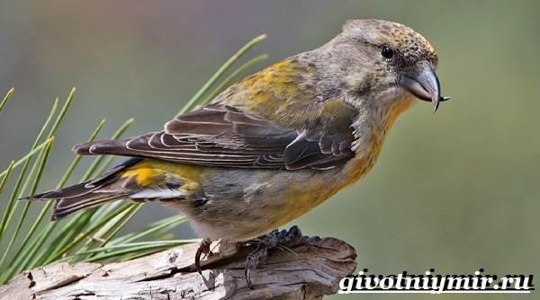 клёст птица фото и описание