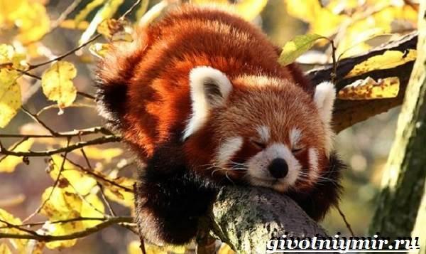 Красная-панда-Среда-обитания-и-особенности-красной-панды-3