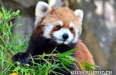 Красная панда. Среда обитания и особенности красной панды