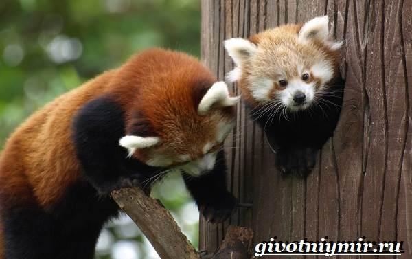 Красная-панда-Среда-обитания-и-особенности-красной-панды-6