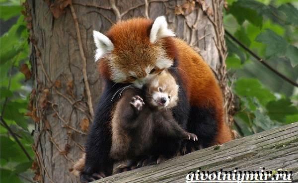 Красная-панда-Среда-обитания-и-особенности-красной-панды-7