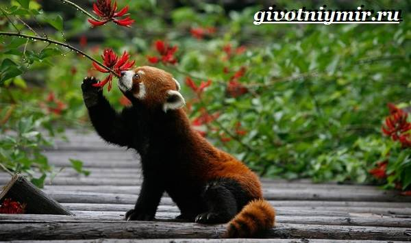 Красная-панда-Среда-обитания-и-особенности-красной-панды-8