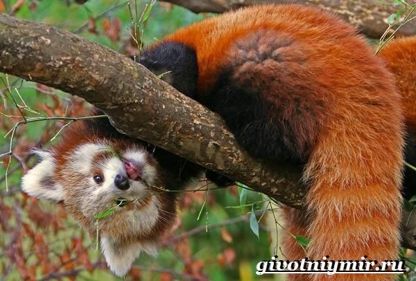 Красная-панда-Среда-обитания-и-особенности-красной-панды
