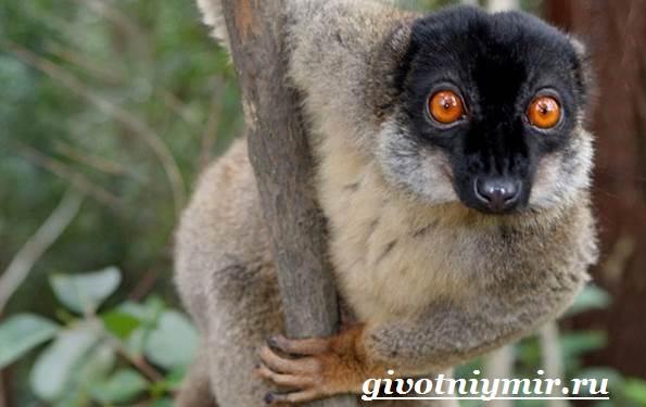 Лемур-Особенности-лемура-Среда-обитания-лемура-2