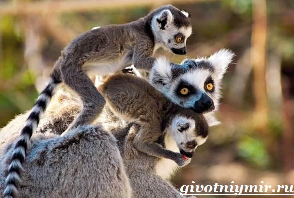 Лемур-Особенности-лемура-Среда-обитания-лемура-7