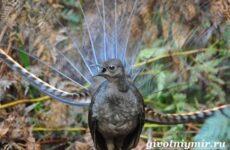 Лирохвост птица. Описание лирохвоста. Среда обитания лирохвоста
