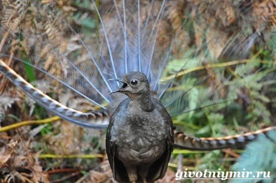 Лирохвост-птица-Описание-лирохвоста-Среда-обитания-лирохвоста-1