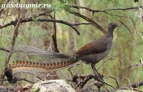 Лирохвост-птица-Описание-лирохвоста-Среда-обитания-лирохвоста-2