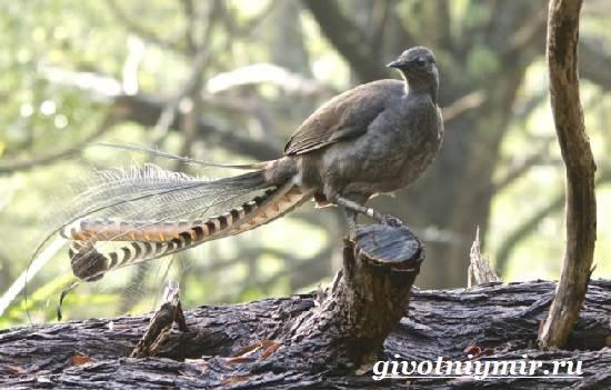 Лирохвост-птица-Описание-лирохвоста-Среда-обитания-лирохвоста-4