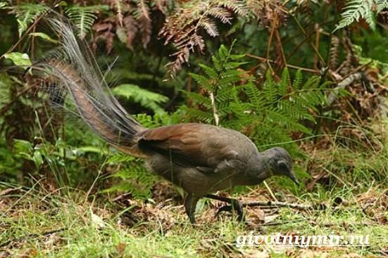 Лирохвост-птица-Описание-лирохвоста-Среда-обитания-лирохвоста-6