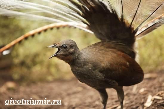 Лирохвост-птица-Описание-лирохвоста-Среда-обитания-лирохвоста-7