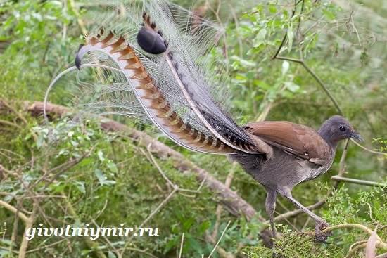 Лирохвост-птица-Описание-лирохвоста-Среда-обитания-лирохвоста-8