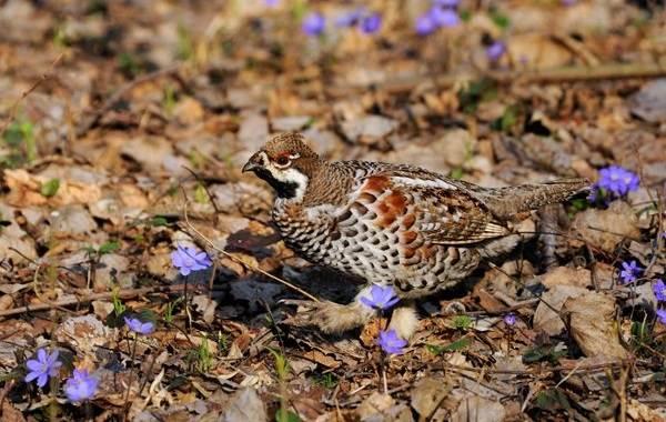Рябчик-птица-Среда-обитания-и-особенности-рябчика-21