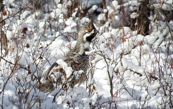 Рябчик-птица-Среда-обитания-и-особенности-рябчика-23