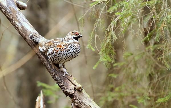 Рябчик-птица-Среда-обитания-и-особенности-рябчика-24