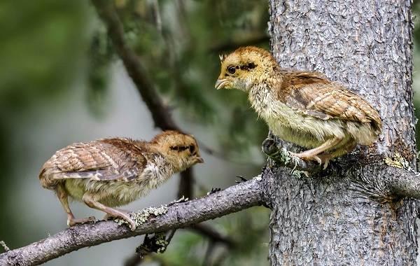 Рябчик-птица-Среда-обитания-и-особенности-рябчика-25
