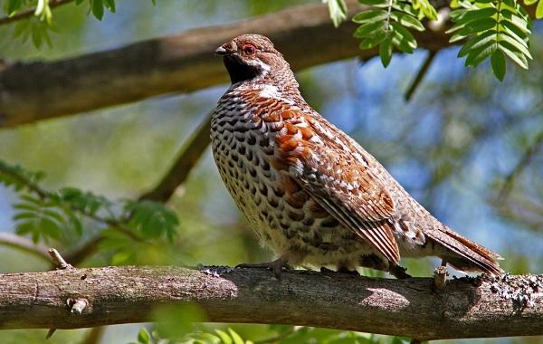 Рябчик-птица-Среда-обитания-и-особенности-рябчика-26