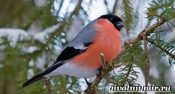 Снегирь-птица-Описание-особенности-образ-жизни-и-среда-обитания-снегиря-1