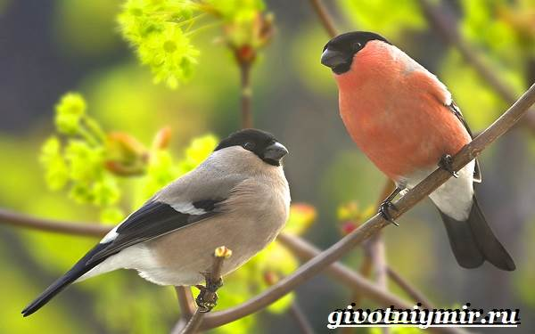 за какое качество снегирей называют солидными птицами