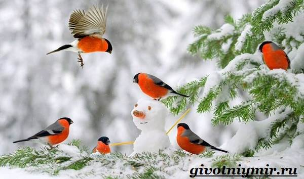 Снегирь-птица-Описание-особенности-образ-жизни-и-среда-обитания-снегиря-5