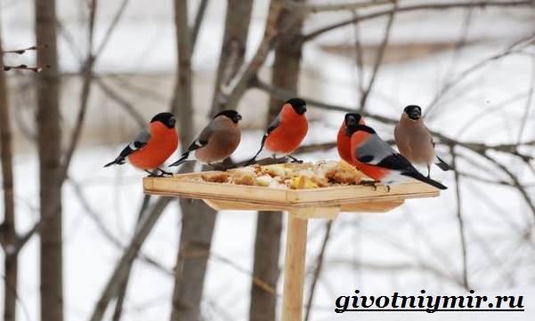 Снегирь-птица-Описание-особенности-образ-жизни-и-среда-обитания-снегиря-6
