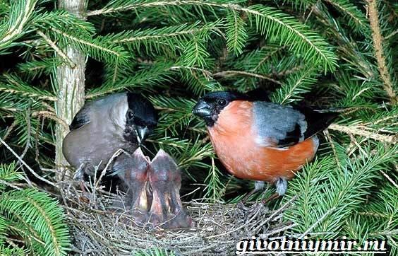 Снегирь-птица-Описание-особенности-образ-жизни-и-среда-обитания-снегиря-7