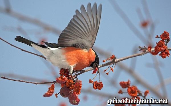 Снегирь-птица-Описание-особенности-образ-жизни-и-среда-обитания-снегиря-8