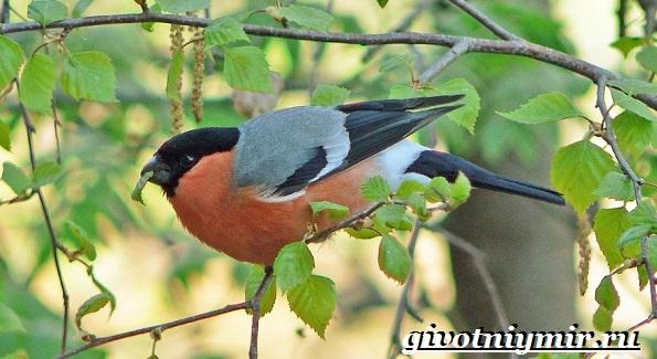 Снегирь-птица-Описание-особенности-образ-жизни-и-среда-обитания-снегиря-9