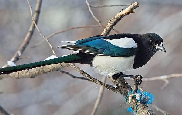 Сорока-птица-Особенности-и-образ-жизни-сороки-10