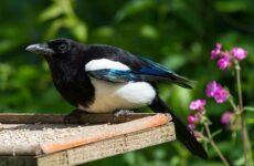 Сорока птица. Особенности и образ жизни сороки