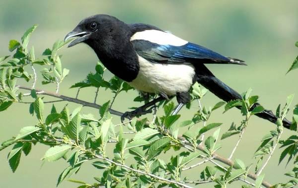 Сорока-птица-Особенности-и-образ-жизни-сороки-14