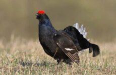 Тетерев птица. Особенности и среда обитания тетерева