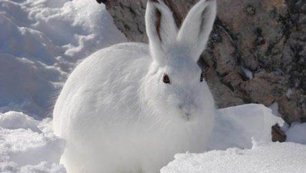 Заяц-беляк. Особенности и среда обитания зайца-беляка