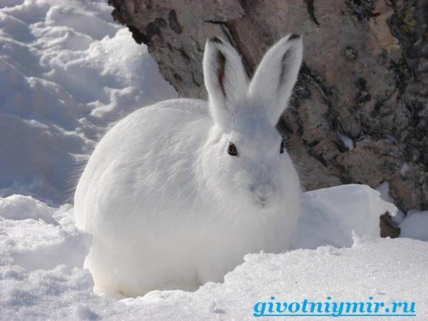 Заяц-беляк-Особенности-и-среда-обитания-зайца-беляка-1