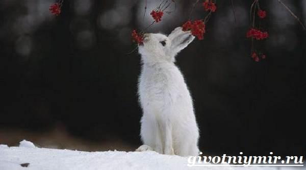 Заяц-беляк-Особенности-и-среда-обитания-зайца-беляка-10