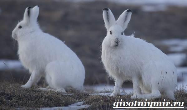 Заяц-беляк-Особенности-и-среда-обитания-зайца-беляка-4