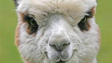 Альпака. Описание и образ жизни альпака