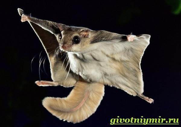 Летяга (Pteromyini): интересные факты, фото, виды