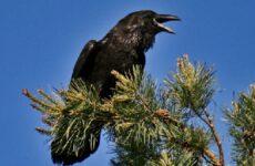 Ворон птица. Описание и образ жизни ворона