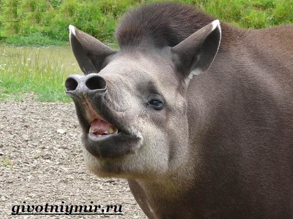 Тапир-Среда-обитания-и-образ-жизни-тапира-1