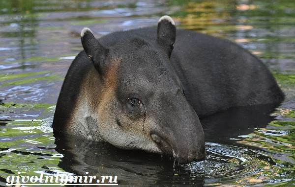 Тапир-Среда-обитания-и-образ-жизни-тапира-2