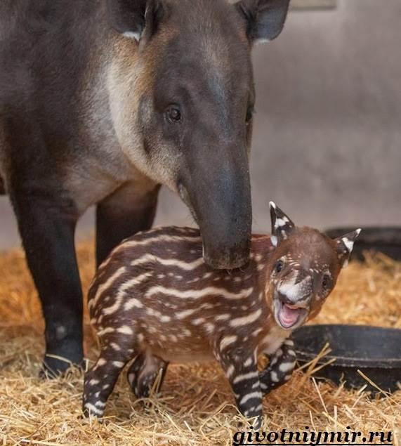 Тапир-Среда-обитания-и-образ-жизни-тапира-3