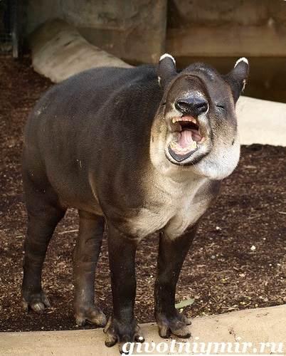 Тапир-Среда-обитания-и-образ-жизни-тапира-4