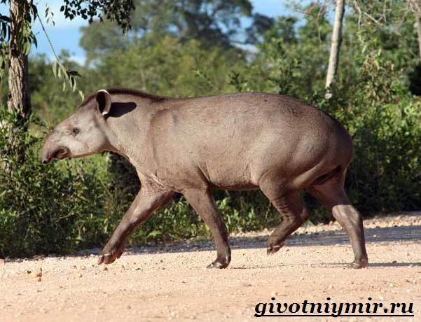 Тапир-Среда-обитания-и-образ-жизни-тапира-5