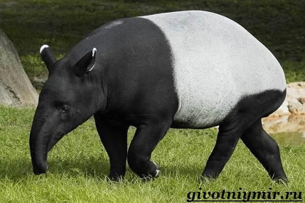 Тапир-Среда-обитания-и-образ-жизни-тапира-6