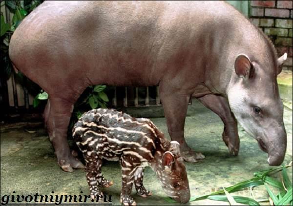 Тапир-Среда-обитания-и-образ-жизни-тапира-8