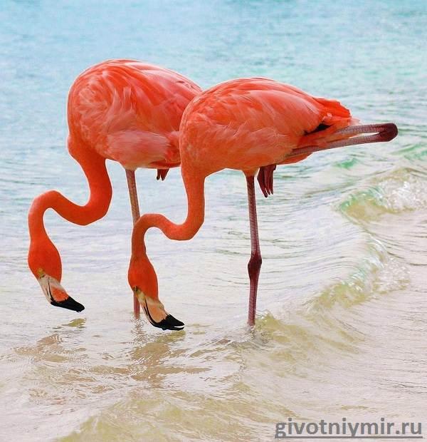 Фламинго-Среда-обитания-и-образ-жизни-фламинго-1